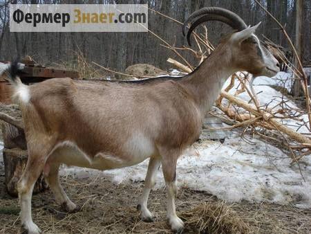 Коза альпійської породи