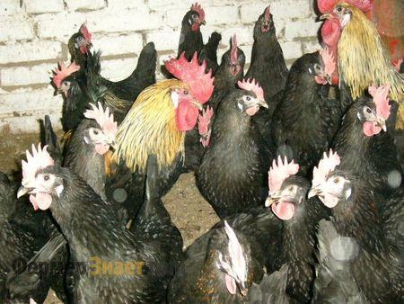 Кури породи Московські чорні