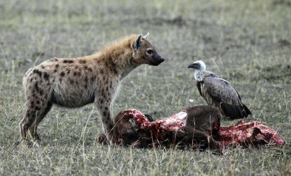 Гієна охороняє видобуток від стерв`ятників