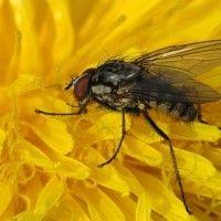 Весняна капустяна муха