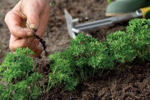 Видалення бур`янів поліпшить розвиток моркви