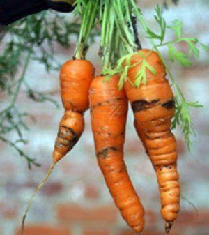 Важливо захищати морква від хвороб і шкідників