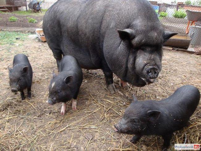 В`єтнамські свині відео