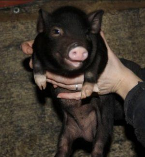 Надмірна дбайливість свиноматки може нашкодити поросятам