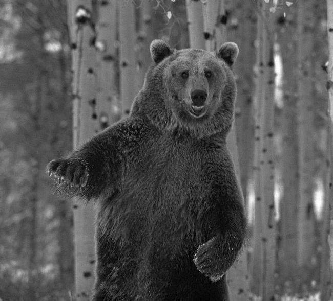 Ведмідь-танцюрист підкорив інтернет.