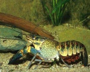 Види акваріумних раків
