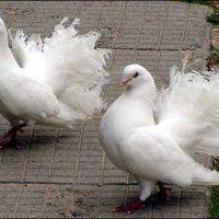 Види голубів