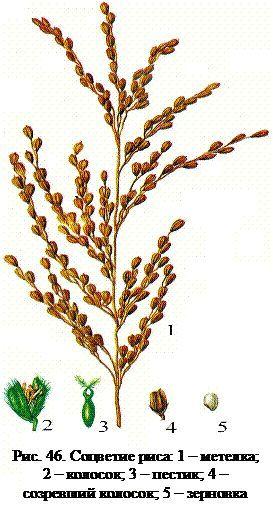 Види і особливості рису