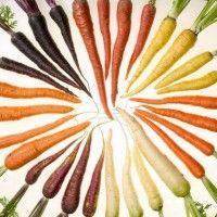 Види моркви