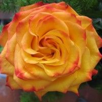 Види троянд з фото і описом