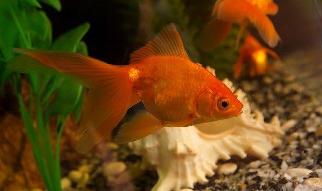Золота рибка.