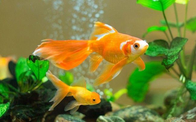 Дві золоті рибки.