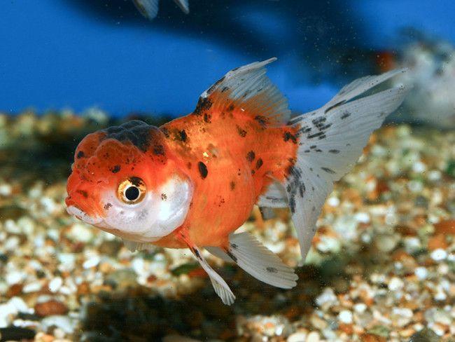 Золота рибка в акваріумі.