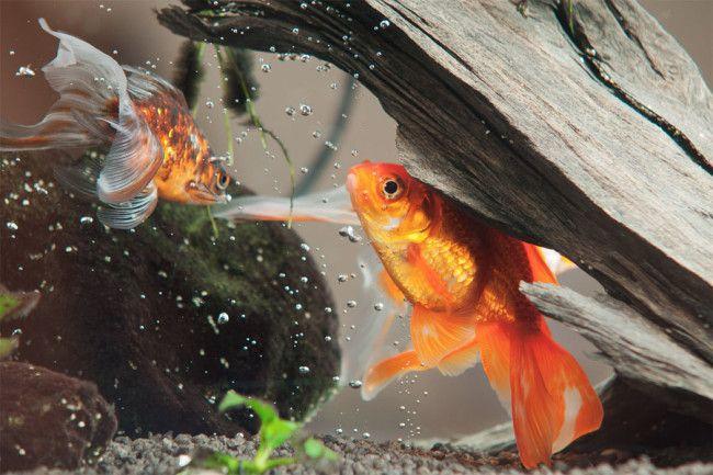 Золоті акваріумні рибки.