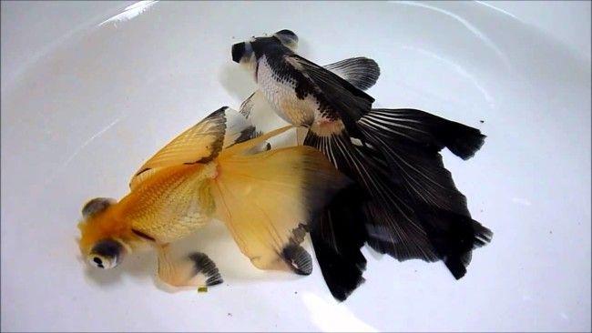 Золоті риби-метелики.
