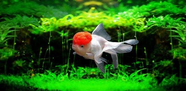 Золота рибка оранда.
