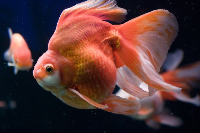 Золота рибка рюкін.
