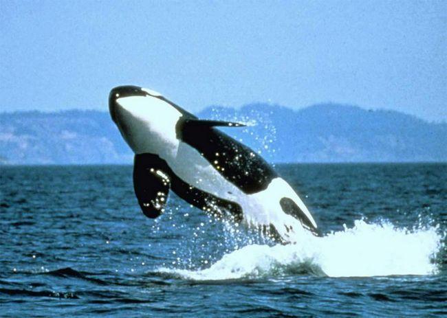 У більшості зубастих китів досить велика кількість зубів, наприклад деяких дельфінів їх близько ста.