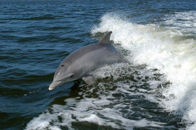Дельфіни полюють зграями.
