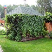 Виноград для вертикального озеленення