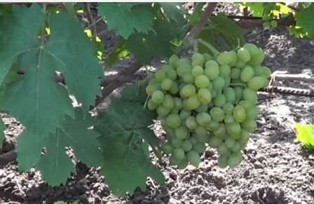 Виноград елегантна