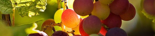Виноград в сибіру - найближчі перспективи російського виноробства