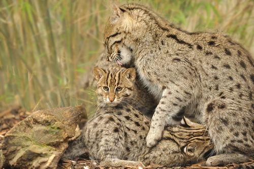 Віверрових кіт-риболов: кіт який вміє плавати