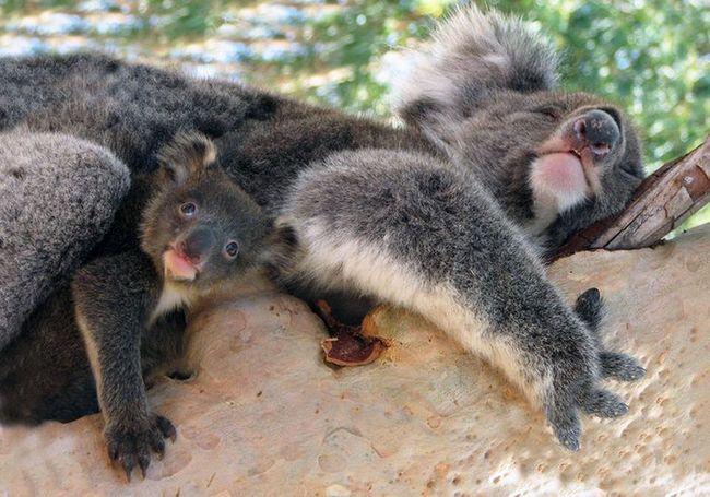 Смак гарного вина нагадує сечу коали
