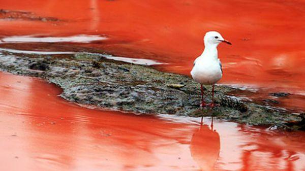 Червоний колір воді надають особливі водорості в період цвітіння (фото: news.com.au)