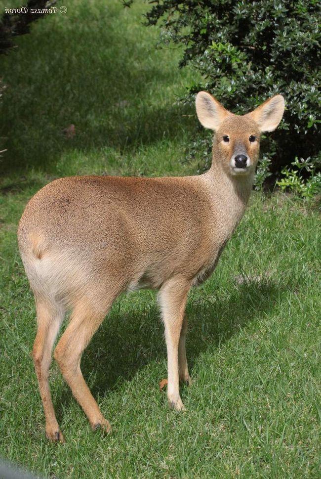 Водяний олень відноситься до безрогим оленям.