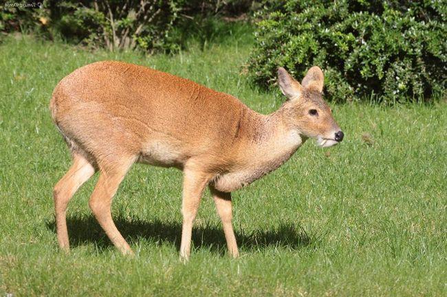 За оскал з іклами олень отримав прізвисько - вампір.