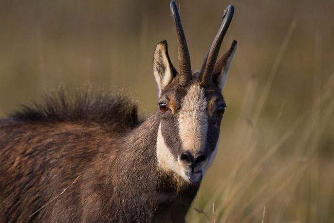 У всіх видів водяних козлів довга шерсть, яка справляє враження кудлатою.