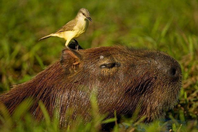 Харчування капібари як і у всіх гризунів. Це рослинна їжа: коріння, лиття і пагони молодих дерев