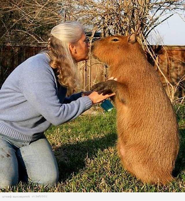 Капибара ласкаве тварина, яке легко приручаються. Багато людей вибирають їх в компаньйони