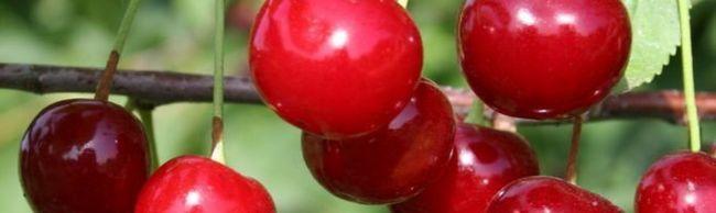 Повстяна вишня: різноманітність сортів і особливості вирощування