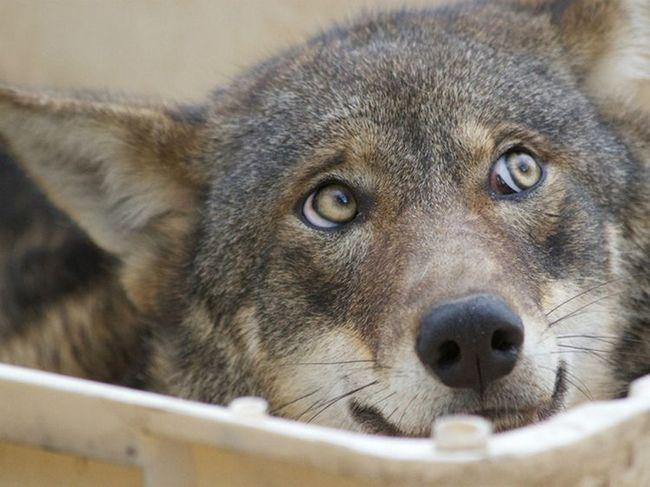 Вовки використовують очі для спілкування один з одним