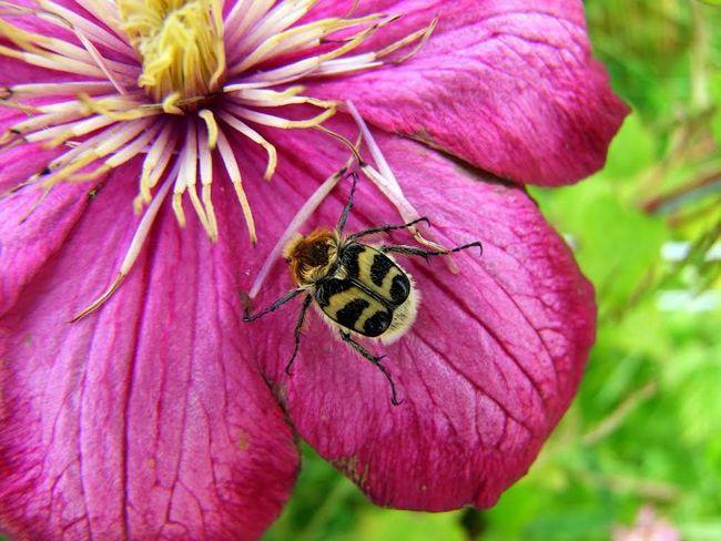 Квітковий нектар - улюблені ласощі восковик.