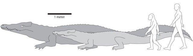 Порівняльні розміри Crocodylus thorbjarnarsoni і сучасного крокодила, людини стародавнього і людини нинішнього