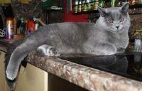 невихований кіт на столі