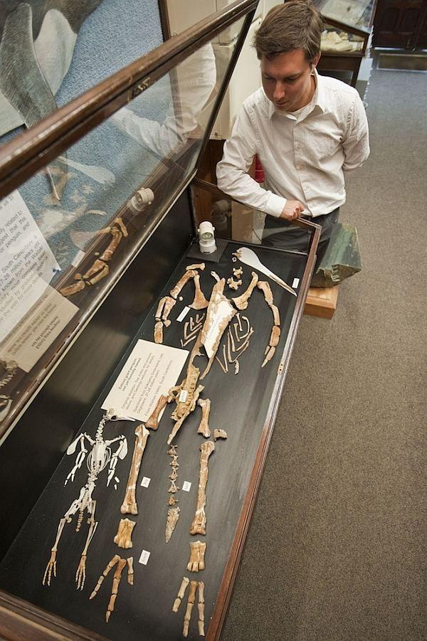 Ден Кшепка. Поруч з великим скелетом кайруку лежать останки сучасного малого пінгвіна. (Фото R. Ewan Fordyce.)
