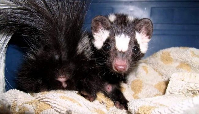 Скунсові, особливо плямисті, є другорядними хутровими тваринами.
