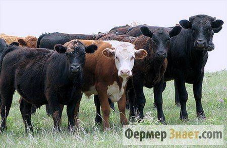 Чи можливо вилікувати цистицеркоз великої рогатої худоби