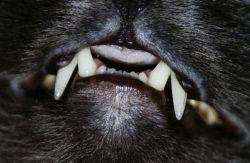 визначення віку кішки по зубам