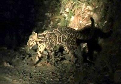 Вперше знятий на відео димчастий сундалендскій леопард
