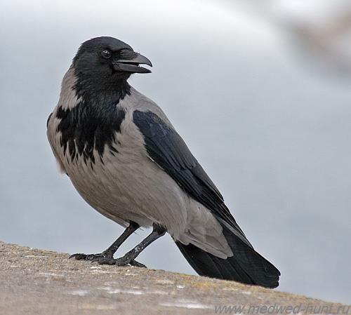 Вранова. сіра ворона фото
