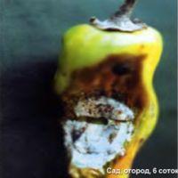 Шкідники і хвороби перцю