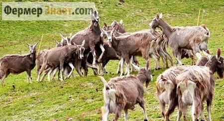 Кози на пасовище