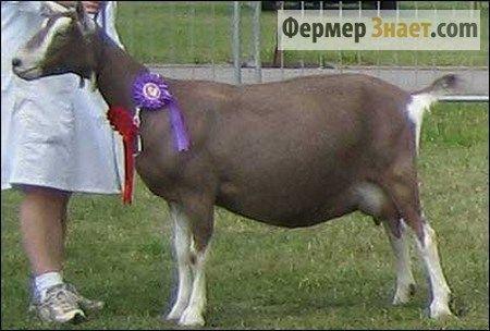 тоггенбургской коза