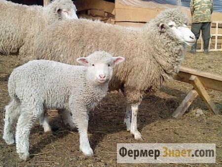 Все що варто знати фермеру про розведення овець