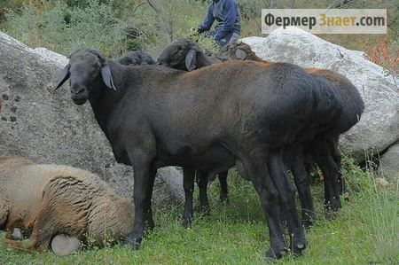 Все що варто знати фермеру про овець гіссарської породи